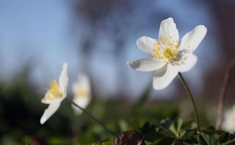 25. Februar: Das Buschwindröschen dokumentiert die Sehnsucht nach dem Frühling.