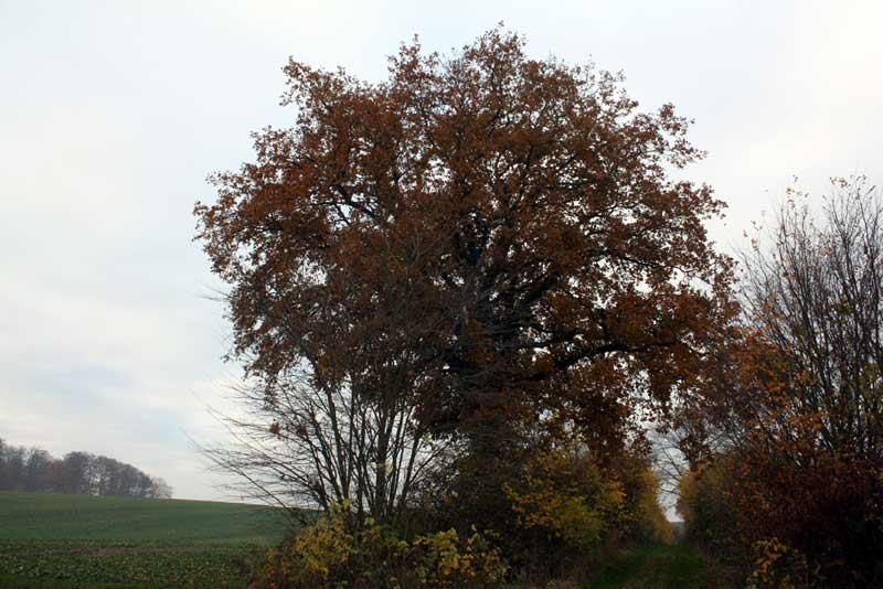 Die große Eiche - November 2012
