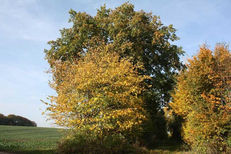 Die große Eiche - Oktober 2012