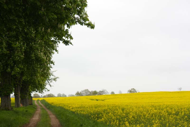 Der blühende Raps streicht Schleswig-Holstein gelb an.