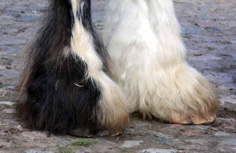 Typisch für Shirehorses: Der reiche Kötenbehang und die tellergroßen Hufe.