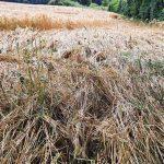 Fru Öttenpötter vertellt: Wenn das Korn im Lager liegt