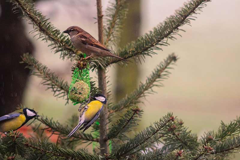 Am ausrangierten Weihnachtsbaum hängen Meisenknödel, an denen sich drei Vögel gütlich tun.