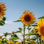 Sonnenblumen: Da komme ich nicht dran vorbei