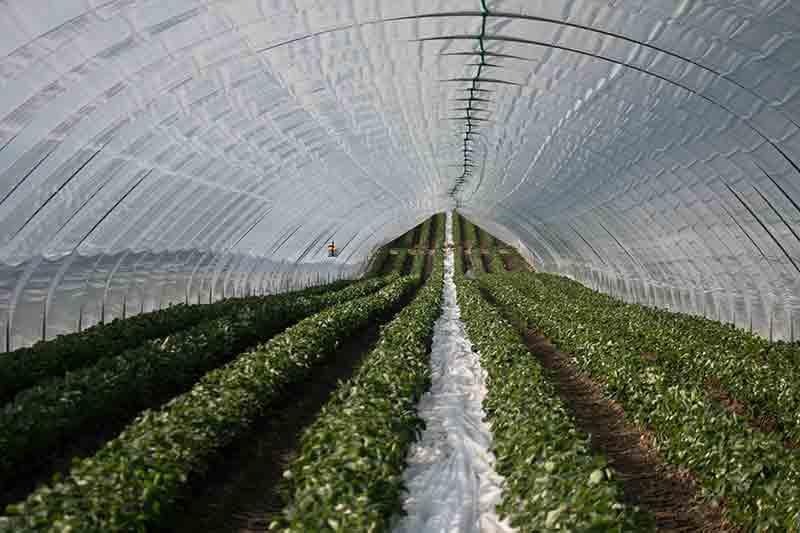 Folientunnel für Früherdbeeren