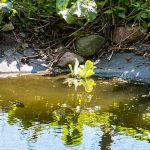 Fru Öttenpötter vertellt: Schwimmpflanze Ursula ist eingezogen