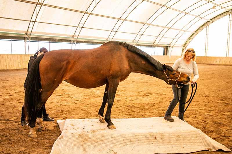 Ein Frau lockte ein Pferd mit einer Möhre, doch noch ein Stück vorwärts zu gehen und mit den Hinterbeinen auf die Waage zu treten.