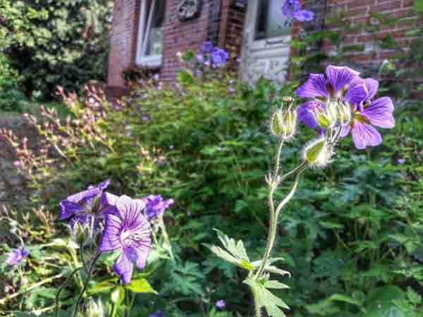 Der Garten der Faulheit: Es blüht und grünt ungezügelt.
