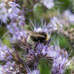 Fru Öttenpötter vertellt: Der Blühstreifen und die Insekten